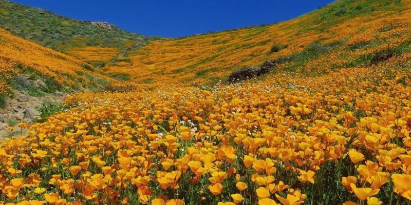 California's Stunning Super Bloom.