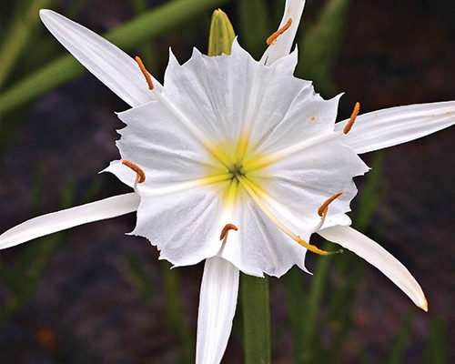 Blooming Season for Cahaba Lily is back and it's beautiful