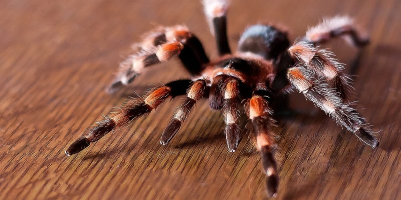 Giant Tarantula will come in a high number around Northern Texas