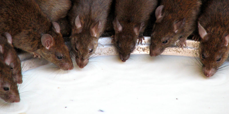 California hit by the most serious rat plague