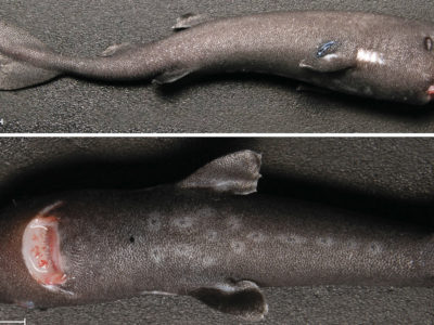 Bioluminescence shark – researchers discover species belonging from tiny shark clan