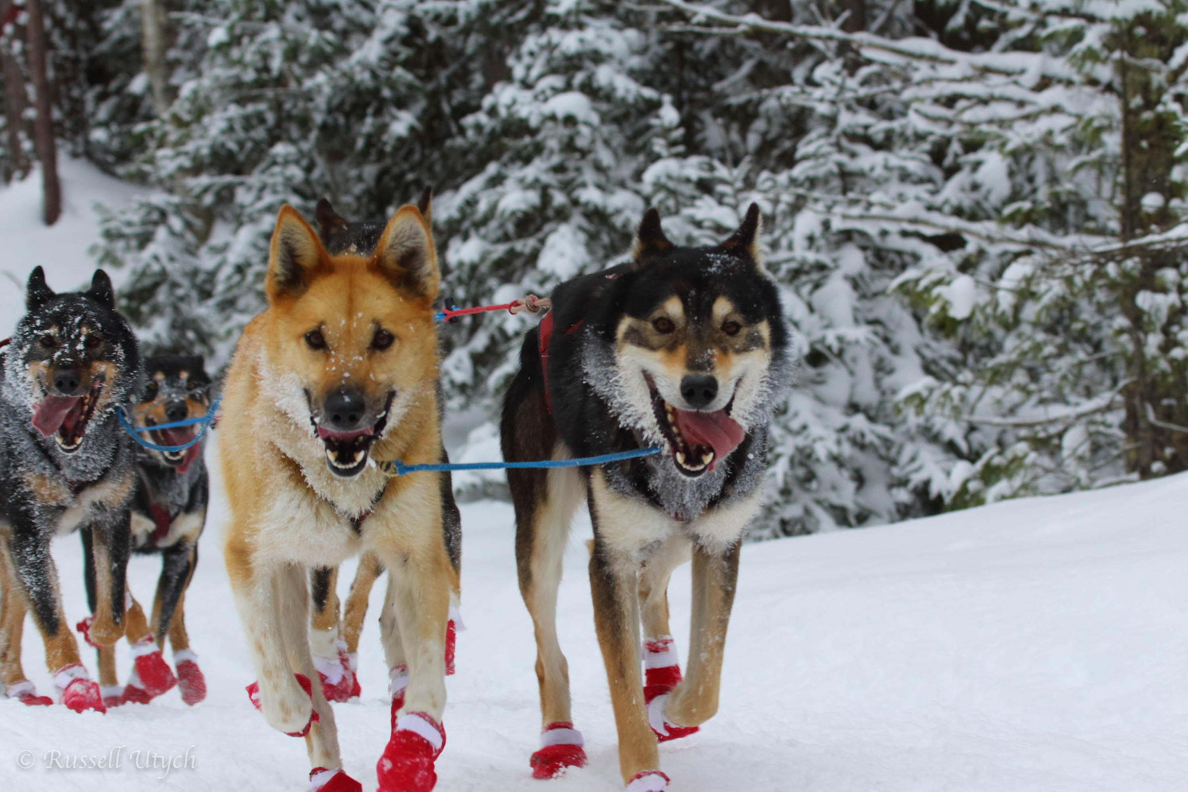 Dog activist unveils the true condition of sled-dogs during off-season