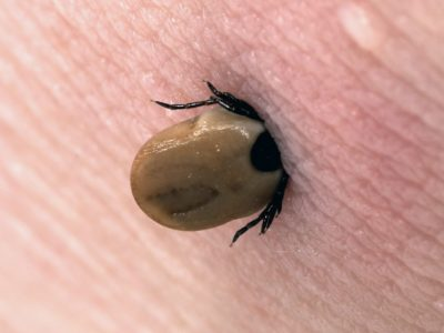 Fatal ticks kills a man- Find out about the symptoms & precautions