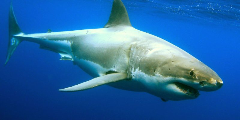 Post Shark-Week feeding event at Myrtle Beach gets caught on camera